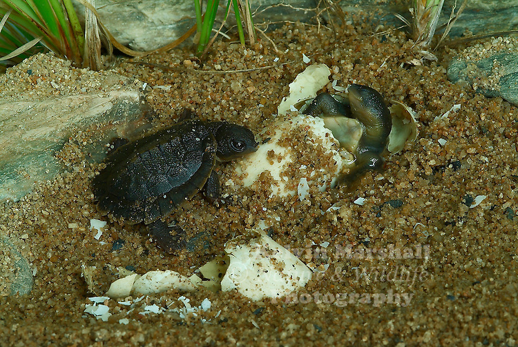 White - throated snapping turtles in the final stages of emerging from their eggs.