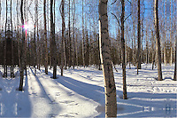 The spring sun cuts through the birch forest near Eagle River, north of Anchorage, Alaska.