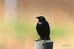 BLACKBIRD; brewer's blackbird   molothrus ater;