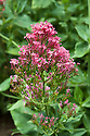 Red valerian (Centranthus ruber), mid June. Sometimes called Jupiter's beard.