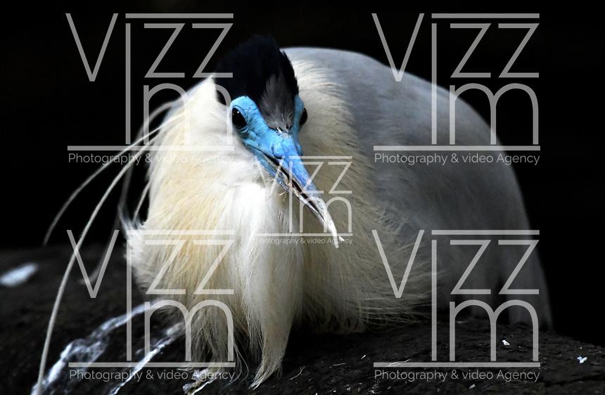 CALI - COLOMBIA - 27 - 09 - 2017: Garza Crestada (Capped Heron), especie de ave en el Zoologico de Cali, en el Departamento del Valle del Cauca. / Garza Crestada (Capped Heron)), Bird specie in the Zoo of Cali,  in the Valle del Cauca, Colombia. / Photo: VizzorImage / Luis Ramirez / Staff.
