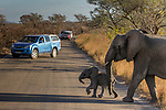 African Elephant (Loxodonta africana) mother and calf crossing road near tourists, Kruger National Park, South Africa