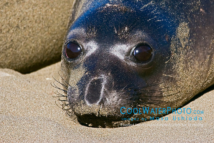 Picture of newborn northern elephant seal pup, Mirounga angustirostris, with black natal pelage, Piedras Blancas, California, USA, East Pacific Ocean