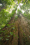 Emergent tree growing through the canopy in the rainforest at La Selva Biological Station, Costa Rica