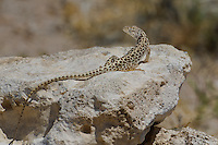437880012 a wild long-nosed leopard lizard gambelia wislizenii sits on a rock along fish slough road in mono county california