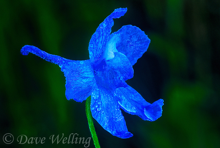145860002 a rare wild blue larkspur subspecies delphinium parryi v blaochmanae covered in rain drops blooms in a small shaded area in san luis obispo county california