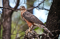 Cooper's Hawk with squirrel