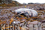 Rough seas wash two 15 foot Pilot Wales and one Dolphin up onto Cuas Croom Beach near Cahersiveen in Co. Kerry on Wednesday morning last, Kerry County Council removed the carcass on Friday...
