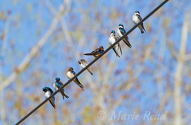 Tree Swallows (Tachycineta bicolor) and Barn Swallows (Hirundo rustica) perched on a wire in spring, New York, USA