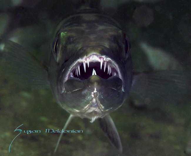 Barracuda Mouth;Barracuda Smile, Barracuda Teeth,  Dangerous Marine species that bite, including sharks, bony barracuda, moray eels, fishes, alligators and crocodiles, octopi, and sea lice;groupers, Tropical ocean dangers.