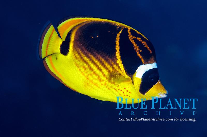 Raccoon Butterflyfish, Chaetodon lunula, Babylon dive site, Reta Island, near Alor, Indonesia, Pacific Ocean