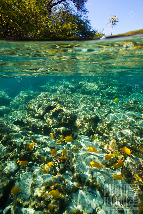 A school of yellow tang feeding in the waters near the Captain Cook Monument, Kealakekua Bay, Big Island