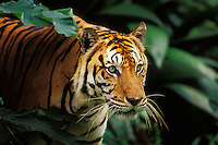 Sumatran tiger (Panthera tigris sumatrae) in tropical rainforest.  Endangered Species.
