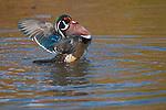 Wood Duck drake (male) fanning wings