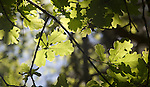 Sunlight shining through young oak tree leaves illustrating the process of photosynthesis, UK