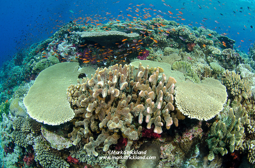 Healthy hard corals dominate shallow sections of a reef near Vatu-i-ra, Bligh Water, Fiji, Pacific Ocean