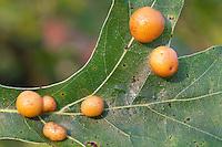 Gall on Pin Oak; Polystepha pilulae; made by gall midge; PA, Phildadelphia, Morris Arboretum
