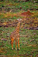 Aerial view of a giraffe, Masai Mara National Reserve, Kenya