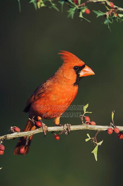 Northern Cardinal, Cardinalis cardinalis, male on Agarita (Berberis trifoliolata), Uvalde County, Hill Country, Texas, USA
