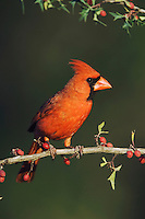 Northern Cardinal, Cardinalis cardinalis, male on Agarita (Berberis trifoliolata), Uvalde County, Hill Country, Texas, USA