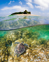 green sea turtle, Chelonia mydas, endangered species, Low Island, Great Barrier Reef, Queensland, Australia, Coral Sea, Pacific Ocean
