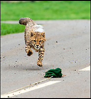 BNPS.co.uk (01202 558833)<br /> Pic: IanTurner/BNPS<br /> <br /> Having learnt from mum one of the cubs tries to chase down the lure.<br /> <br /> Two cheeky cheetah cubs have proven they were born to run - showing off their impressive speed for the first time.<br /> <br /> The six-month-old rare twins Poppy and Winston, the first cheetahs ever to be born at Longleat Safari Park in Wiltshire, have started developing the hunting skills they would need in the wild.<br /> <br /> Keepers at the wildlife park set up a speeding lure, similar to those used at greyhound races, to put the youngsters through their paces.