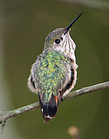 Adult female caliope hummingbird