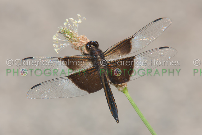Widow Skimmer (Libellula luctuosa) Dragonfly - Juvenile Male, Rockefeller State Park Preserve, Potanico Hills, Westchester County, New York