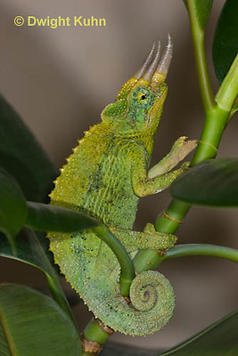 CH35-625z  Male Jackson's Chameleon or Three-horned Chameleon, close-up of face, eyes and three horns, Chamaeleo jacksonii