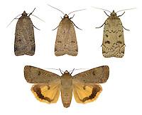 Lesser Yellow Underwing - Noctua cornes - 73.345 (2109)