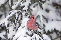 Bright red feathers on a male grosbeak perched on a snowy spruce bow, Arctic, Alaska.