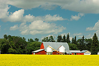 red barn and canola<br />