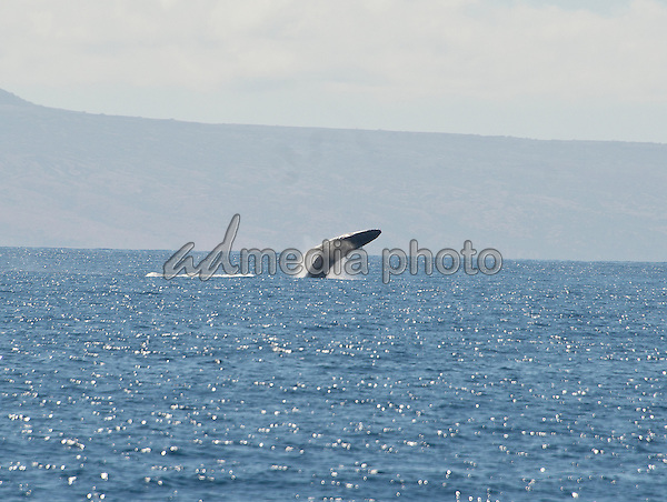 A Humpback Whale is observed close-up from a boat off the coast of Lahaina, Maui, Hawaii on Thursday, February 25, 2016.  Adult Humpback males range between 40 and 52 feet and weigh up to 45 tons.  The come to Hawaii from Alaska to breed during the winter months.  Whale watching is one of the tourist attractions in Hawaii.<br /> Photo Credit: Ron Sachs/CNP/AdMedia