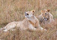 Two Lions  Kenya 2015
