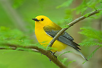 592305009 wild male prothonotary warbler protonotaria citrea perched on a branch in the martin dies jr state park jasper county texas
