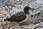 Immature Blue-footed Booby with a white chest, brown head and back feathers and brown feet standing on a rocky surface in the Galapagos Islands