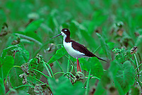 The endangered Hawaiian stilt or (ae o) in taro patch, (himantopus mexicanus knudsent).