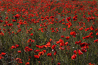 Campo di papaveri. Field of poppies.....