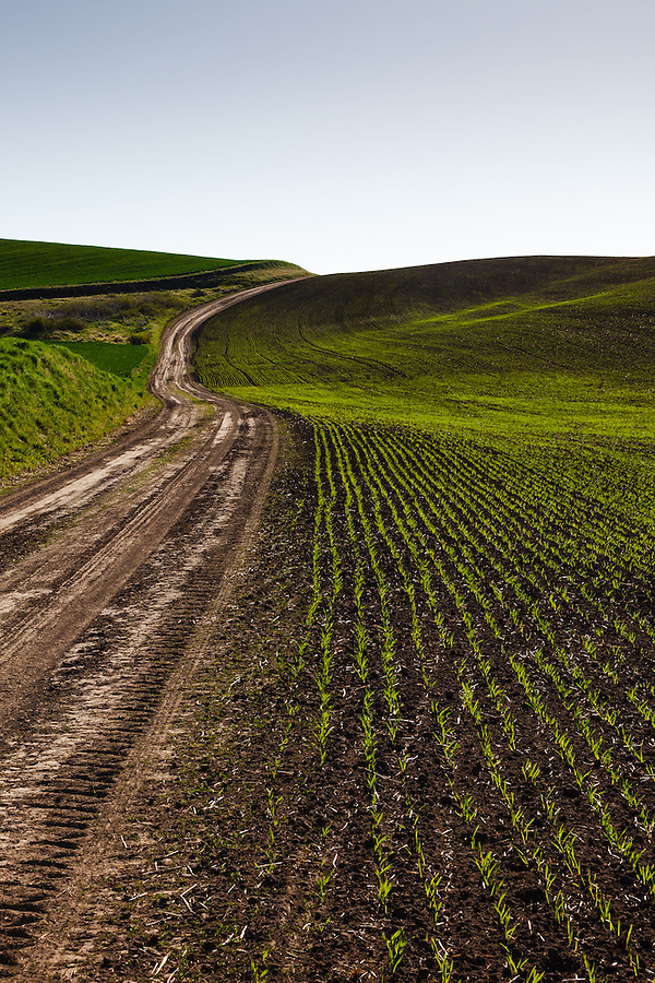 Green shoots come up from the furrows planted along a muddy farm road in the Palouse of Eastern Washington State.
