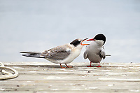 A juvenile arctic tern seeks food from its mother who has nothing to offer.