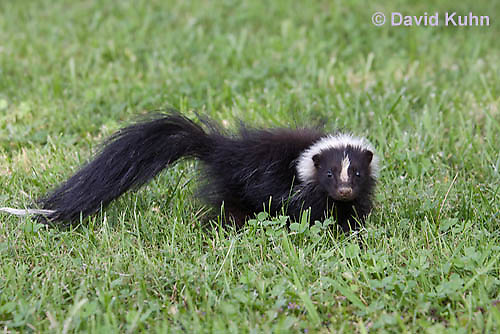 0821-0901  Striped Skunk with No Stripe Pattern (Rare), Mephitis mephitis © David Kuhn/Dwight Kuhn Photography