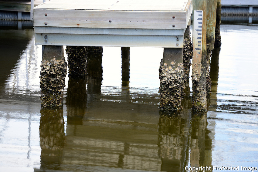 Low tide on the Intracoastal waterway  reveals numerous barnacles on the pillars supporting the dock. Photographed at Harvey Oyer Park, Boynton Beach, Florida.