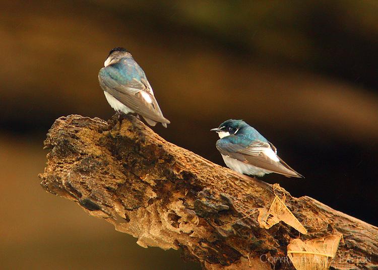 Mangrove swallows