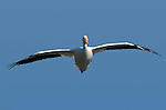 White Pelican in Flight (head-on), American White Pelican, Sepulveda Wildlife Refuge, Southern California