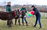 BNPS.co.uk (01202) 558833. <br /> Pic: CorinMesser/BNPS<br /> <br /> Top of the class... Donkeys are introduced to unusual items such as balloons at the 'finishing school'. <br /> <br /> A donkey sanctuary is running its own 'finishing school' to help the animals adjust to the outside world once they are re-homed.<br /> <br /> The 12 week program, initiated by The Donkey Sanctuary in Sidmouth, Devon, is believed to be the first of its kind in Britain.<br /> <br /> Activities include walking under bunting, navigating traffic cones and getting used to people carrying umbrellas.<br /> <br /> There are also tutorials on feeding, grooming and handling for the donkeys' prospective guardians.<br /> <br /> The initiative started in November 2019, with a current intake of 31 donkeys. Eight donkeys having already gone to homes.