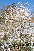 Magnolia x loebneri 'Ballerina' spring blooming tree in white flower, blue sky sunny day, entire tree visible