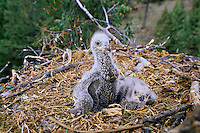Two bald eagle eaglets sitting in nest.  Pacific Northwest.  Spring.