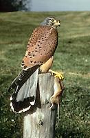 Turmfalke, Männchen, Terzel mit erbeuteter Maus, Turm-Falke, Falke, Falco tinnunculus, common kestrel