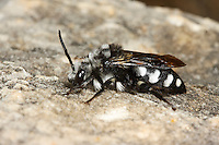 Pracht-Trauerbiene, Prachttrauerbiene, Gemeine Trauerbiene, Weißfleckige Trauerbiene, Melecta luctuosa, Trauerbienen