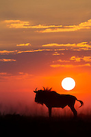 Silhouette of a blue wildebeest at sunset